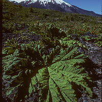 A broad leaf plant below Volcan Osorno in the Lakes Distric of Chile.