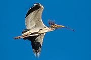 Gray Heron in flight with a branch in it's beak. Working on building nest | Gråhegre i lufta med en gren i nebbet. Arbeider med å bygge reir.