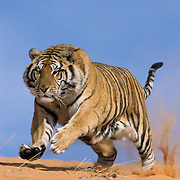 Tiger on coral sand dunes. Captive Animal *NON EDITORIAL USE ONLY*