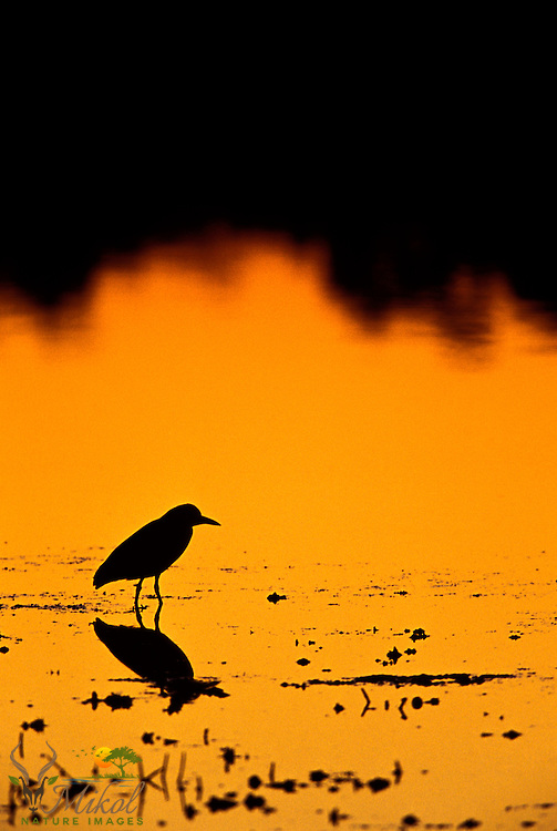 Black-Crowned Night Heron Reflected in water at sunset