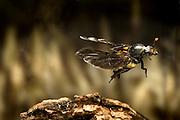 A carrion beetle (Nicrophorus carolinensis) in flight, Texas.