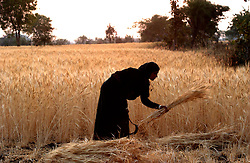 Guddi Bai Verma is silouted as she harvests wheat in the village of Siradi, about 65 kilometers from Bhopal, India March 1, 2005. Ami Vitale