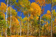 Trembling aspen Trembling aspen (Populus tremuloides) forest in autumn colors<br />Prince Albert National Park<br />Saskatchewan<br />Canada