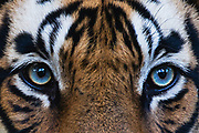 Close up portrait of a rare blue-eyed wild Bengal tiger, Ranthambore National Park, Rajasthan, India