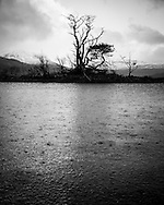 Scots pines on a small island in the rain at Loch Assynt, Scotland.