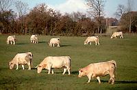 1997, Burgundy, France --- A Charolais cattle herd grazes a pasture in Burgundy. --- Image by © Owen Franken/CORBIS