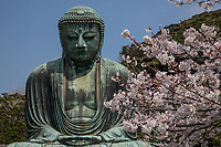 78.2  The Great Buddha of Kamakura 鎌倉大仏 this monumental bronze statue of Buddha was cast by Ono Goroemon in 1253, a leading craftsman of his time.  There are traces of gold leaf near the statue's ears as the entire statue was originally gilded. The hall in which the Daibutsu was housed was destroyed by a typhoon in 1334, rebuilt, then damaged once again by yet another storm in 1369.  It was rebuilt a third time but the last building washed away in the tsunami of September 1498.  Since then, the Great Buddha has stood in the open, as it does today.  Daibutsu is located within the grounds of Kotoku-in Temple.