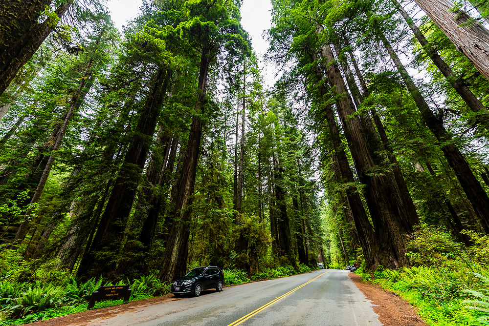 Redwood forests along the Newton B. Drury Scenic Parkway in Prairie Creek Redwoods State Park, part of Redwood National and State Parks, Northern California USA.