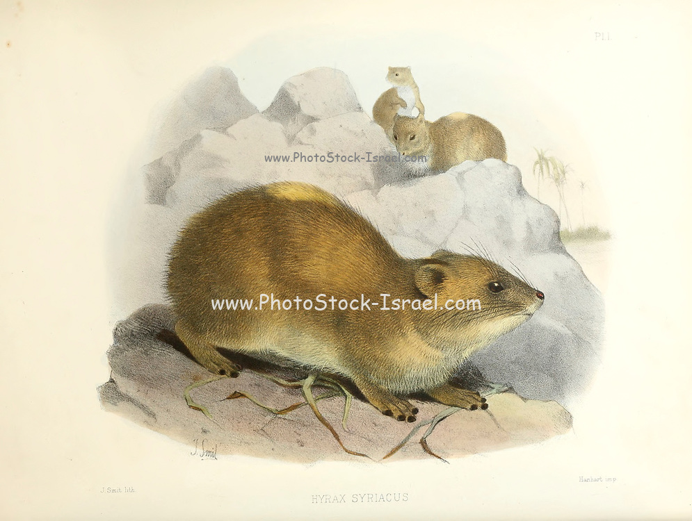 The rock hyrax (Procavia capensis [Here as Hyrax Syriacus]), also called Cape hyrax, rock rabbit, and (in the King James Bible) coney, is a medium-sized terrestrial mammal native to Africa and the Middle East. From the survey of western Palestine. The fauna and flora of Palestine by Tristram, H. B. (Henry Baker), 1822-1906 Published by The Committee of the Palestine Exploration Fund, London, 1884