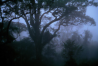 Morning mist in the rain forest canopy of Borneo.  Gunung Palung National Park, West Kalimantan, Indonesia.