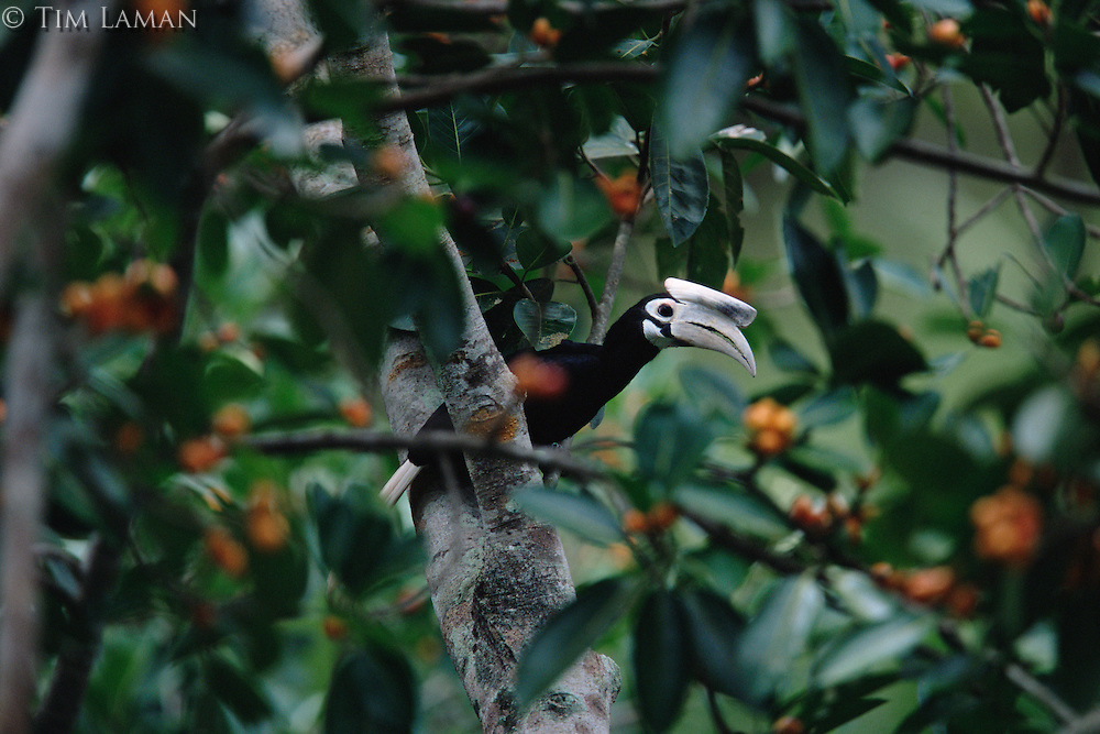 The endangered Palawan hornbill (Anthracoceros marchei) in a Ficus sp. tree..Palawan Island, Philippines.