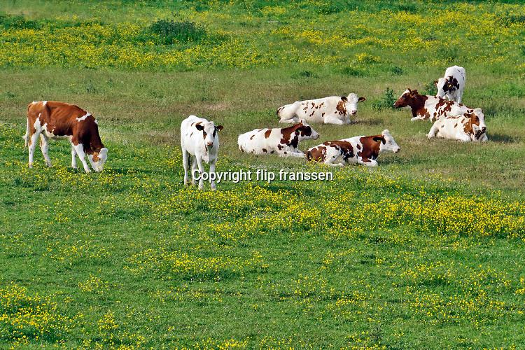 Nederland, Ooijpolder, 29-5-2019 Jonge koeien, pinken, grazen in de wei vol met bloemen, paardebloemen . Tegenwoordig worden veel grassoorten gebruikt die zo genetisch gemodificeerd zijn dat er geen bloemen meer tussen groeien . Hierdoor hebben ook insecten, vogels en bijen het moeilijker .Foto: Flip Franssen