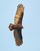 Turkey Vulture (Cathartes aura). Image taken with a Nikon N1V3 camera and 70-300 mm VR lens.