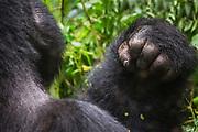 The hand of a silverback mountain gorilla (Gorilla beringei beringei),  Bwindi Impenetrable Forest, Uganda, Africa