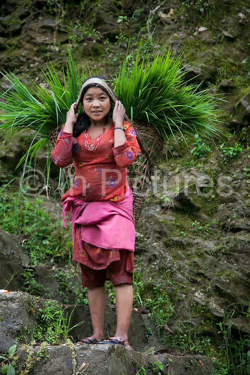 A young girl is carrying her harvested greens on her back in a wicker basket hooked around her forehead in traditional Nepalese style high up in the mountains in Dolakha district.