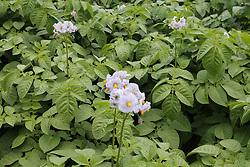 Potato plants in flower