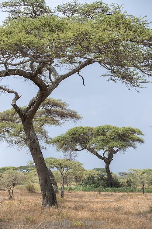 Landscape with acacia trees in the savannah, Ngorongoro Conservation Area, Tanzania