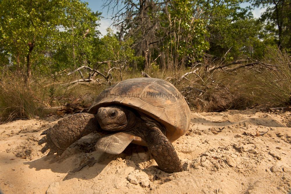 Gopher Tortoise (Gopherus polyphemus) Male at burrow<br /> The Orianne Indigo Snake Preserve<br /> Telfair County. Georgia<br /> USA<br /> Threatened species in Georgia<br /> HABITAT & RANGE: Longleaf pine & oak forests & sandhills & areas of good ground cover. Southeast USA