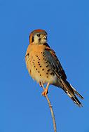 American Kestrel (Falco sparverius--male), Bosque del Apache National Wildlife Refuge, San Antonio, New Mexico