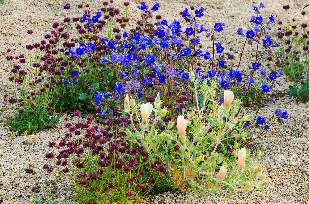 Desert wildflowers, Joshua Tree National Park, California USA