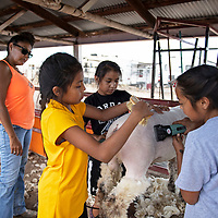 Sisters Saige Murphy, 13, right, Alicia Ramon, 12, center, and Jaden Ramon, 11, left, clipping one of their lambs in preparation for the  showing later in the day, Friday, August, 31, 2018 at the Bi-County Fair in Prewitt.