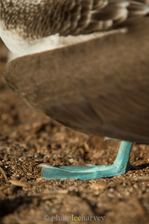 Foot detail of a Blue-footed booby, North Seymour Island, Galapagos, Ecuador, South America