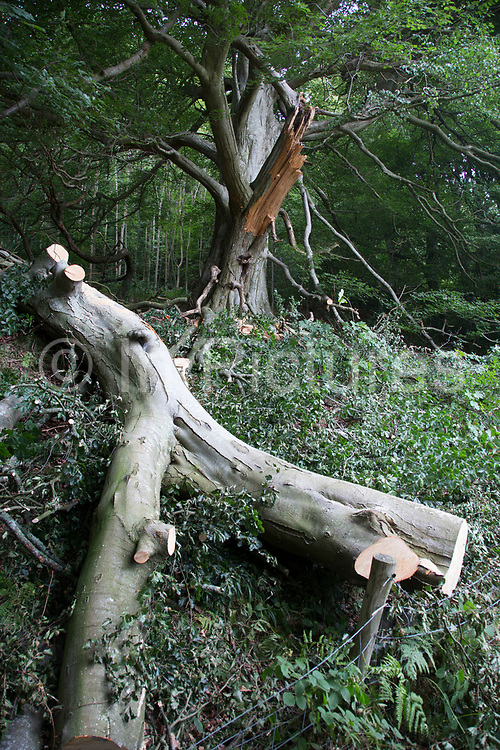 A large branch of a tree which has separated from the main trunk lies at the border of a path. Powys, Wales, UK.