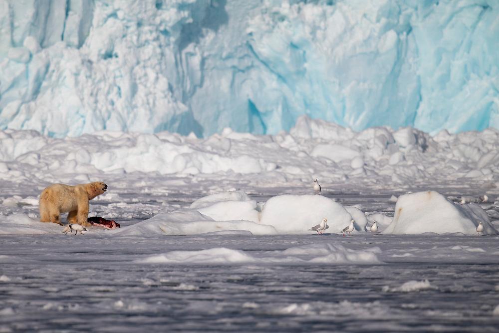 Polar bear Ursus maritimus, and an Arctic fox, Alpex lagopus, in front of a massive glacier front, Svalbard, Spitzbergen, Arctic Norway