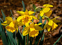 Daffodils. Image taken with a Fuji X-H1 camera and 200 mm f/2 OIS lens and 1.4x teleconverter (ISO 200, 280 mm, f/11, 1/680 sec).