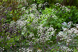 Anthriscus sylvestris 'Ravenswing' in the woodland area at Glebe Cottage. Purple Cow parsley, Queen Anne's lace