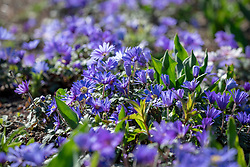 Anemone blanda 'Blue' - Winter windflower