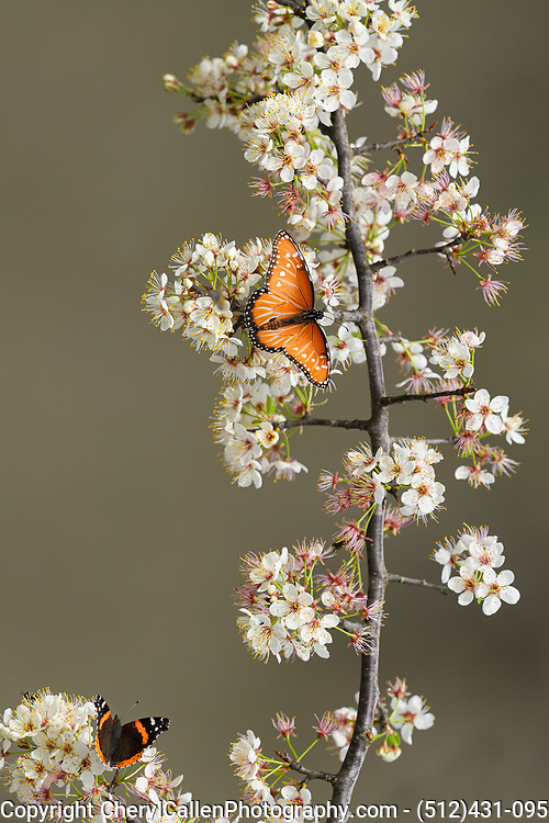 Queen butterfly (Danaus gilippus)on a wild Plum Tree with a friend