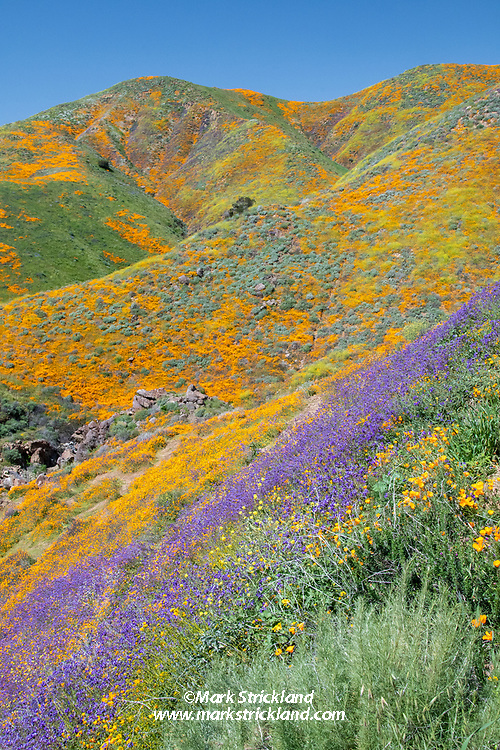 The Southern California desert burst into color during the 2019 Superbloom. Lake Elsinore, California, USA