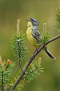 Kirtland's Warbler - Dendroica kirtlandii