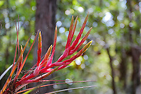 Brilliantly red and yellow, the inflorescences of most species of Tillandsia air plants are very striking and beautiful, such as this cardinal airplant in the Fakahatchee Strand of Southwest Florida. Before long, thin, tubular purple flowers will emerge from this member of the pineapple family.