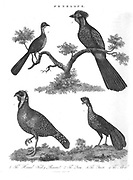 4 Penelope species of Turkey Pheasants [Penelope is a bird genus in the family Cracidae consisting of a number of large turkey-like arboreal species, the typical guans.] Copperplate engraving From the Encyclopaedia Londinensis or, Universal dictionary of arts, sciences, and literature; Volume XIX;  Edited by Wilkes, John. Published in London in 1823