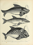 Delphinus 1. Porpoise 2. Female Dolphin casting her young 3. Orca or Grampus Copperplate engraving From the Encyclopaedia Londinensis or, Universal dictionary of arts, sciences, and literature; Volume V;  Edited by Wilkes, John. Published in London in 1810