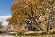 Cottonwoods at Los Luceros in fall