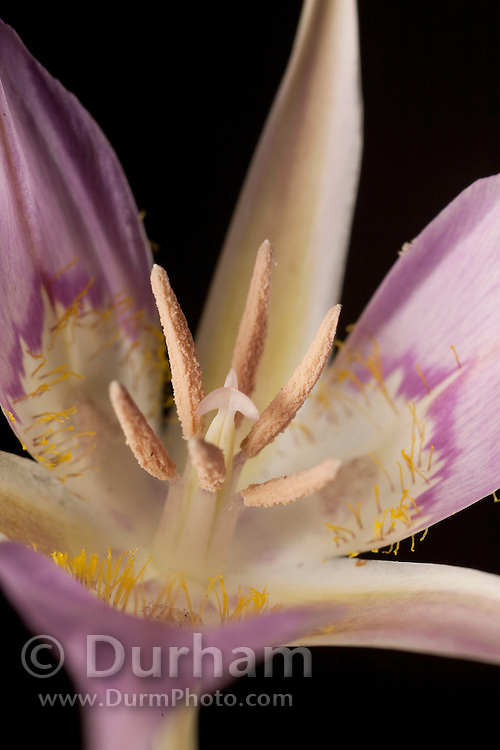 A wild mariposa lily (Calochortus macrocarpus) at The Nature Conservancy's Whisper Lake Preserve, central Washington.