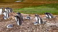 Gentoo Penguin (Pygoscelis papua). Stormness, South Georgia. Image taken with a Leica T camera and 18-55 mm lens.