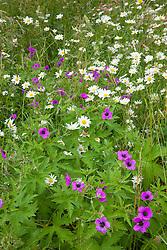 Wildflower patch with Leucanthemum vulgare (Ox eye daisies) growing with Geranium psilostemon AGM syn. Geranium armenum (Armenian cranesbill)