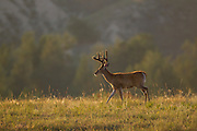Whitetail buck during summer with antlers in velvet