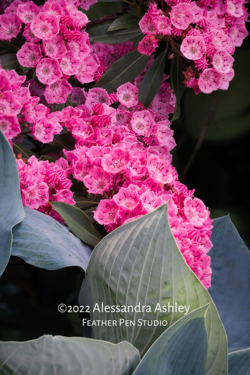 Dark pink mountain laurel in full bloom, cascading over blue-green hosta planted below. A living collage of contrasting colors, shapes and textures.
