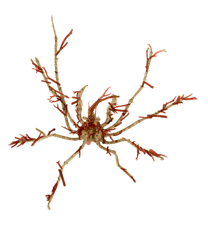 Long-legged Spider Crab - Macropodia rostrata
