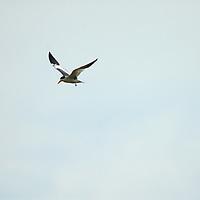 A South American Tern (Sterna hirundinacea) flies over the Amazon River in Peru.
