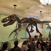 Skeleton of Tyrannosaurus rex in American Museum of Natural History New York City