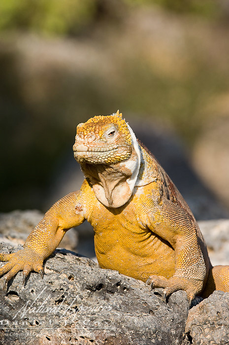 Land Iguana (Canolophus subcristatus) crawling on rocks.  Galapagos, Ecuador.