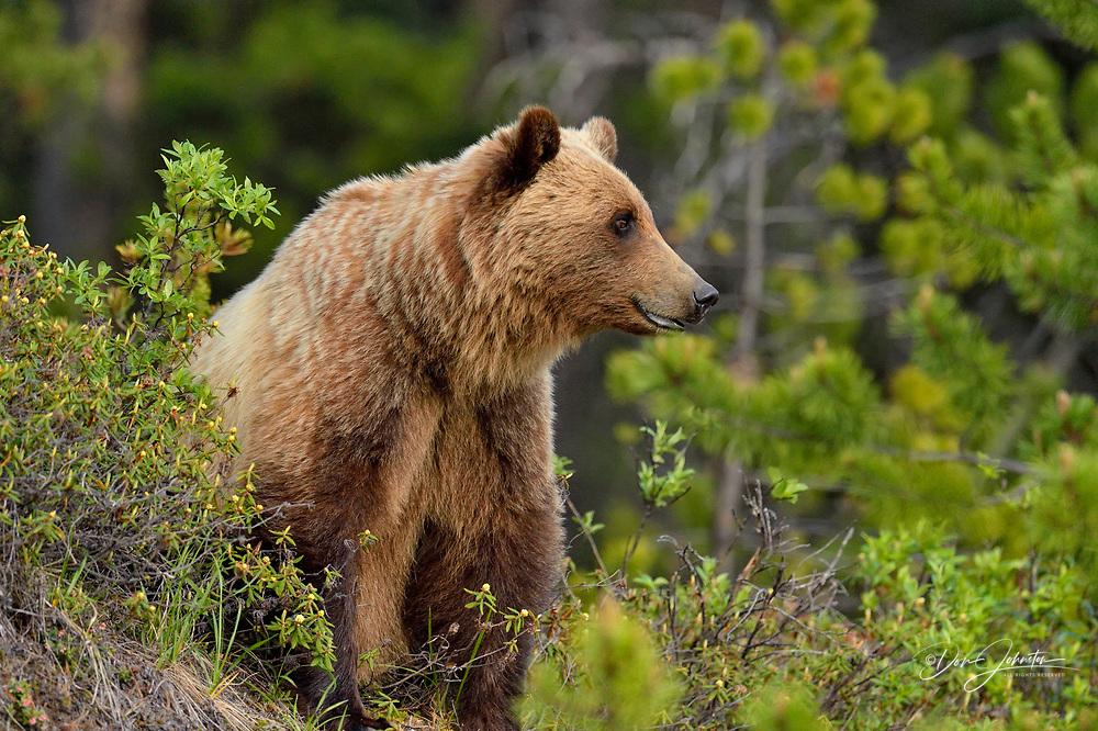 Grizzly bear (Ursus arctos), Jasper National Park, Alberta, Canada