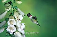 01162-054.20 Ruby-throated Hummingbird (Archilochus colubris) male at Foxglove (Digitalis sp.)  Shelby Co.  IL