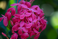 A close-up of a red Ixora flower at the St. Rose Nursery, La Mode, St. George's, Grenada,<br />West Indies, Caribbean